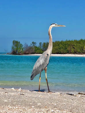 Great blue heron in the Shell Key Preserve near St Pete Beach.